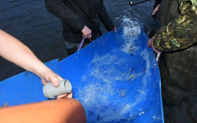 Рыбоводы Норильска выпустили в Енисей 64 тысячи мальков осетра