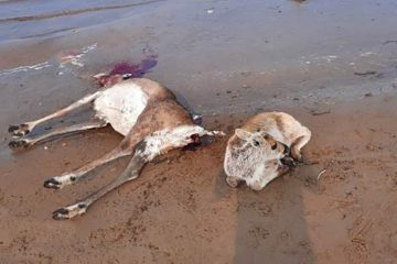 В Хатанге браконьеры массово расстреляли диких северных оленей