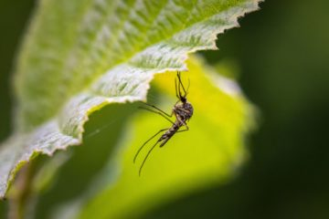 Чем «пищат» комары?