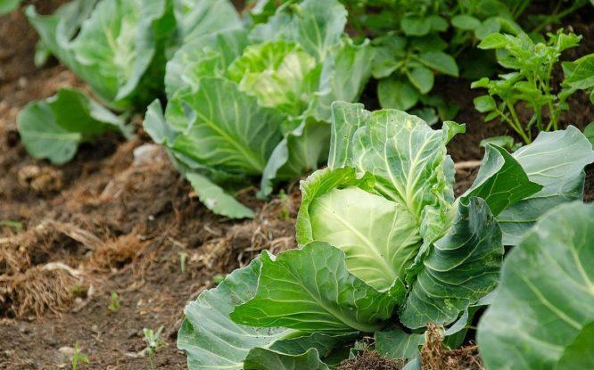 В Красноярском крае обнаружили превышение нитратов в моркови, свекле, капусте и луке